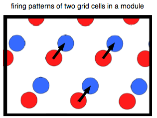 The Significance of the Modular Organization of Entorhinal Grid Cells (1/6)